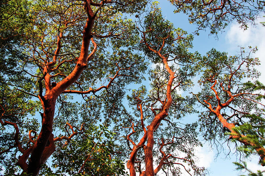 Madrona Trees Stretching to the Sky by Pacific Northwest Sailing
