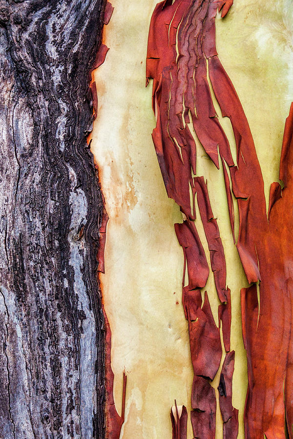 Madrone Tree Bark 01 by Carol Leigh