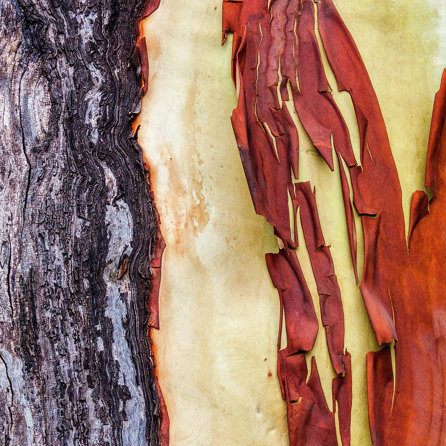 Madrone Tree Bark 02 by Carol Leigh
