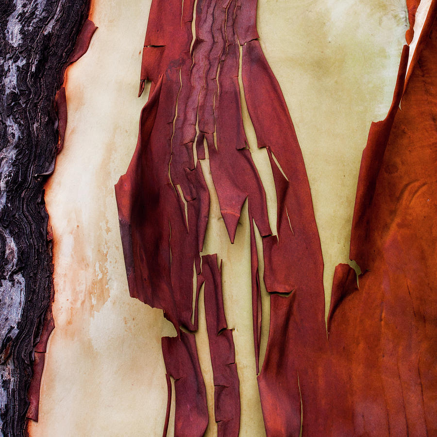 Madrone Tree Bark 03 by Carol Leigh