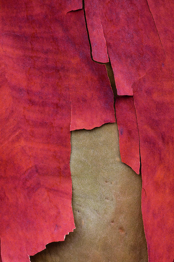 Carol Leigh Photograph - Madrone Tree Bark 05 by Carol Leigh