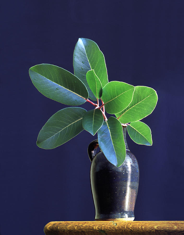 Madrone Tree Leaves In Vase On Table Photograph by Diane Miller
