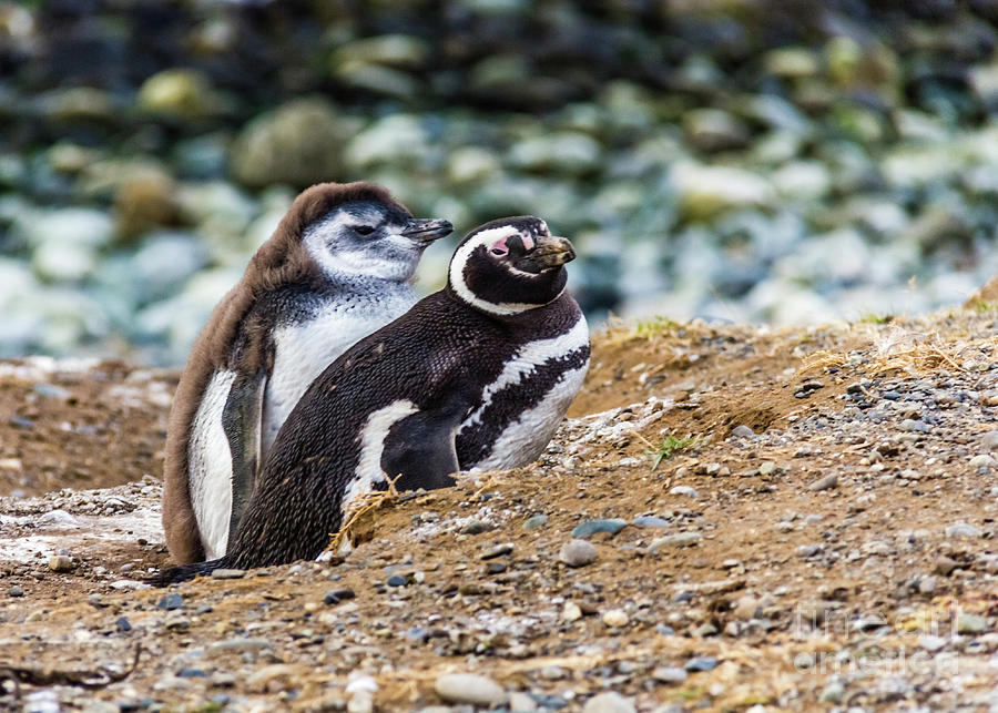 Magellan Penguins on the Isla Magdalena, Chile by Lyl Dil Creations