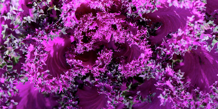 Magenta Cabbage by Mark Shoolery