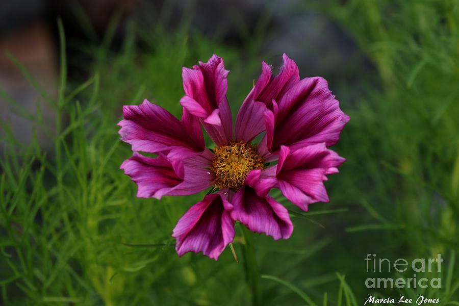 Magenta Petals by Marcia Lee Jones