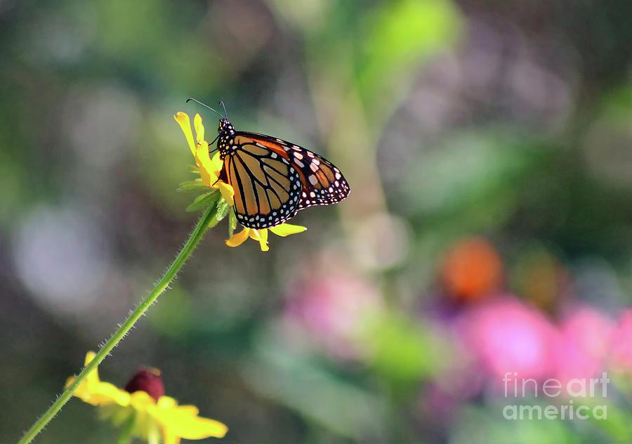 Monarch Photograph - Magical Monarch by Karen Adams