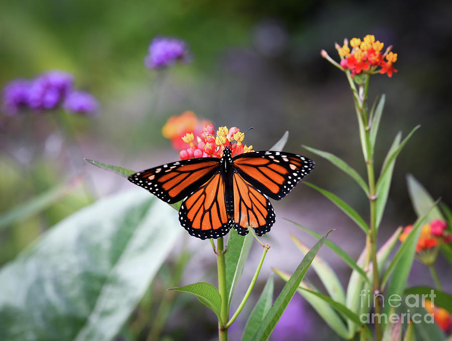 Magical Wings - Monarch Butterfly by Kerri Farley