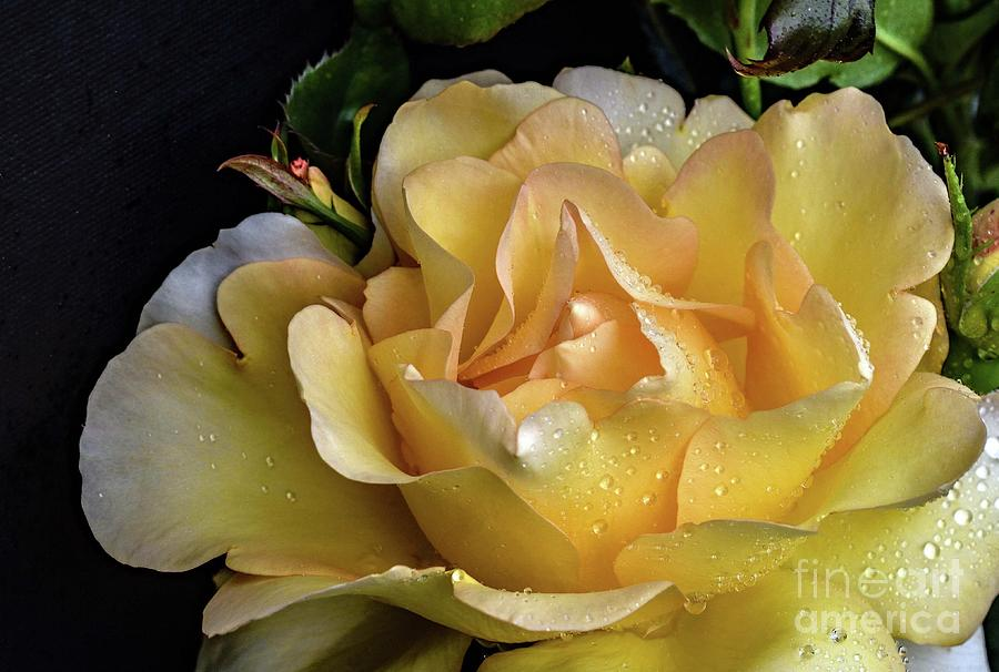 Magnificent Gold Struck Rose by Cindy Treger