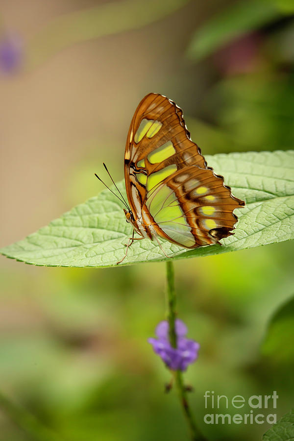 Magnificent Malachite Butterfly by Sabrina L Ryan