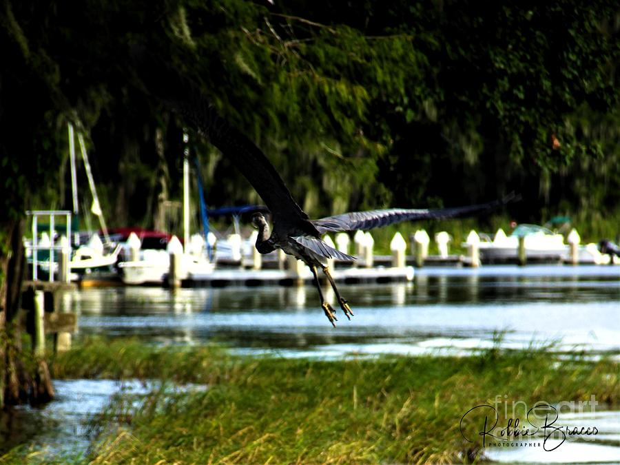 Magnificent Wing Span of a Great Blue Heron by Philip and Robbie Bracco