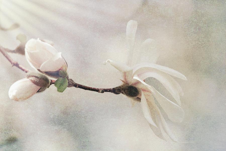 Magnolia Blossom In Morning Light Photograph