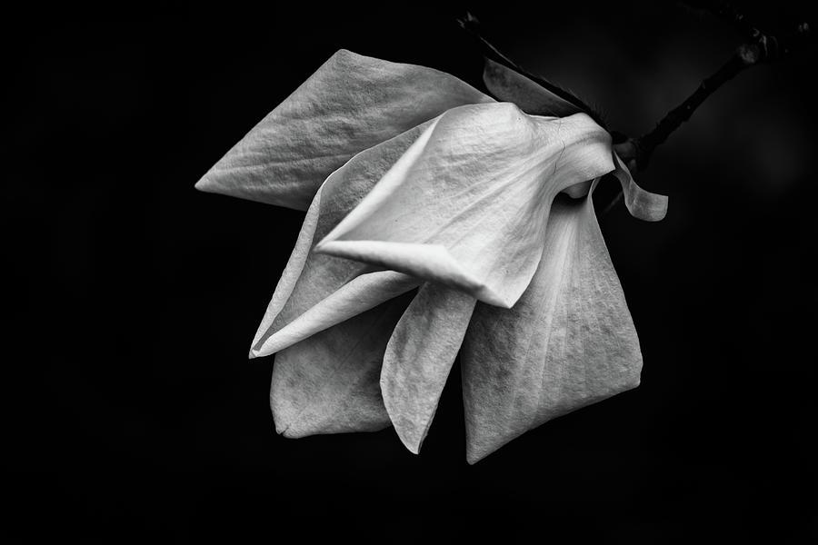 Magnolia Blossom by Marzena Grabczynska Lorenc