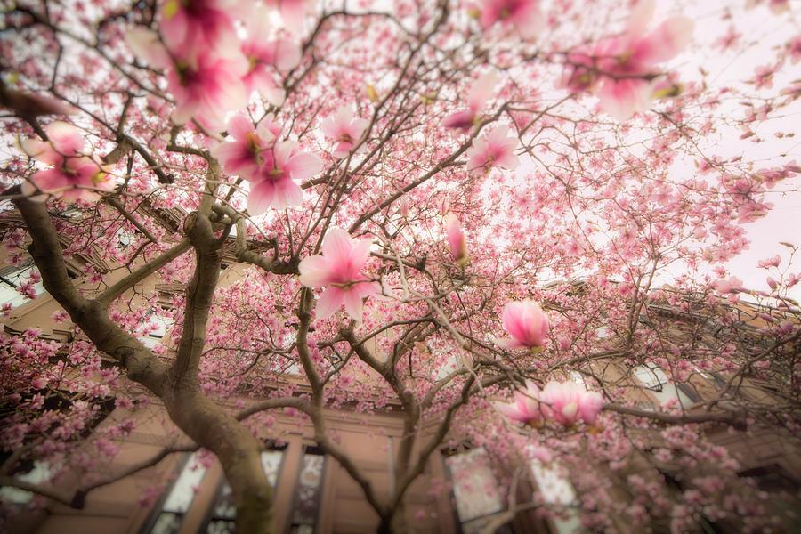 Magnolia Blossoms by Joann Vitali