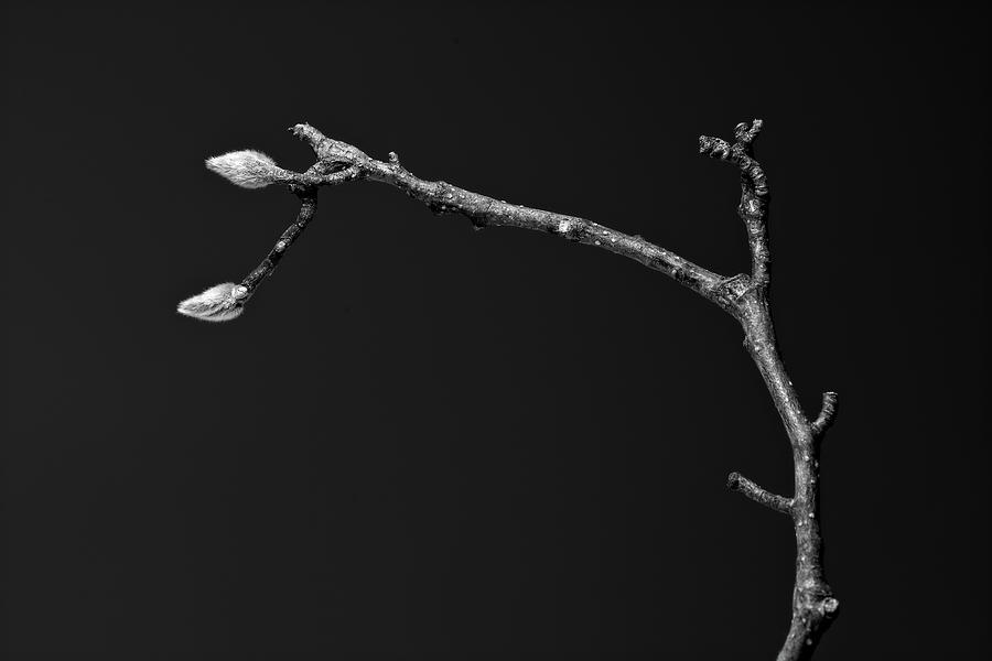 Magnolia Branch Detail by Keith Dotson