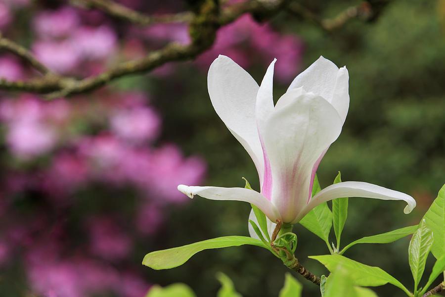 Magnolia by Briand Sanderson