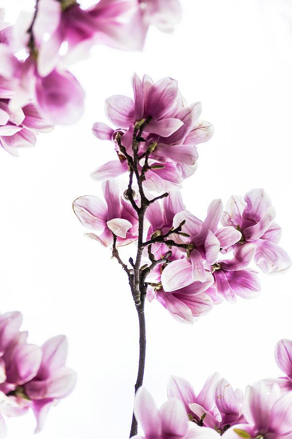 Magnolia Buds by Stewart Helberg