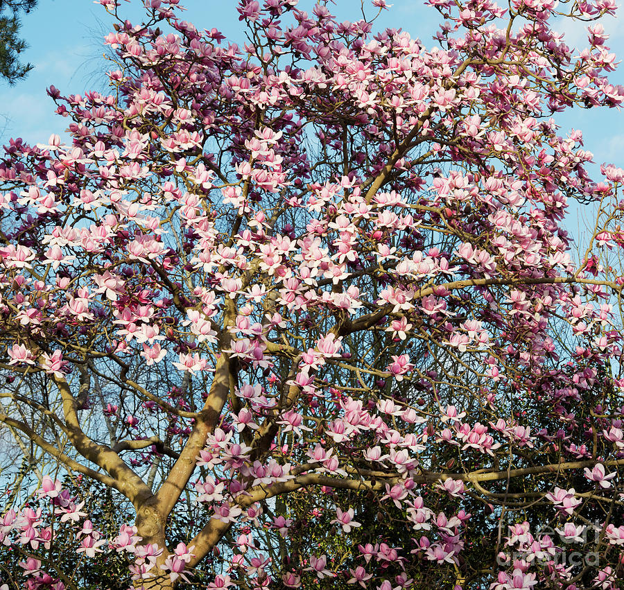 Magnolia Campbellii Photograph - Magnolia Campbellii Tree Flowers In Spring  by Tim Gainey