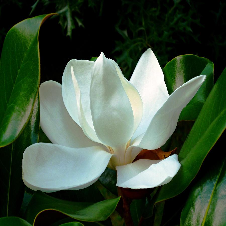 Magnolia Closeup Bright Squared by Michael McBrayer