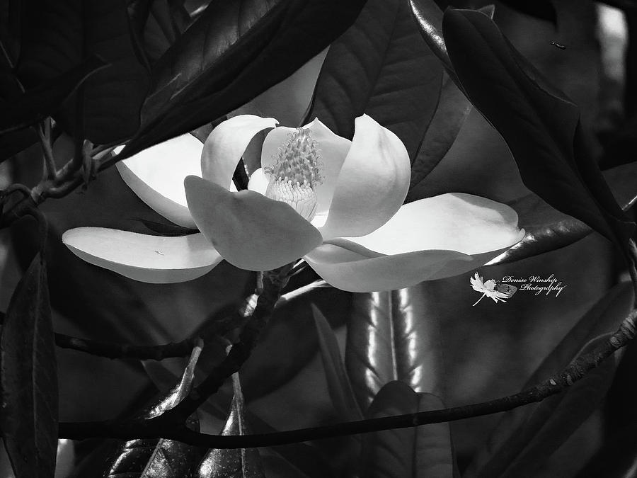 Magnolia Flower in Black and White by Denise Winship