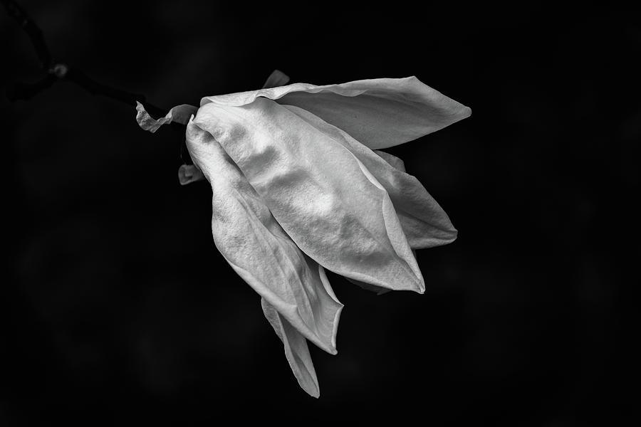 Magnolia Flower by Marzena Grabczynska Lorenc