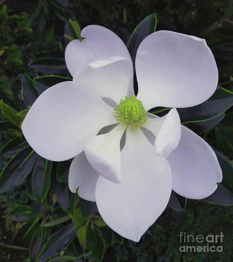 Magnolia Flower Photo F9718 by Mas Art Studio