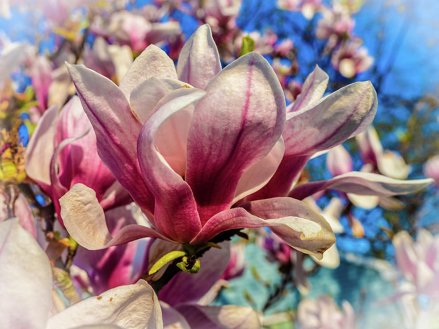 Magnolia flowers by Louis Dallara