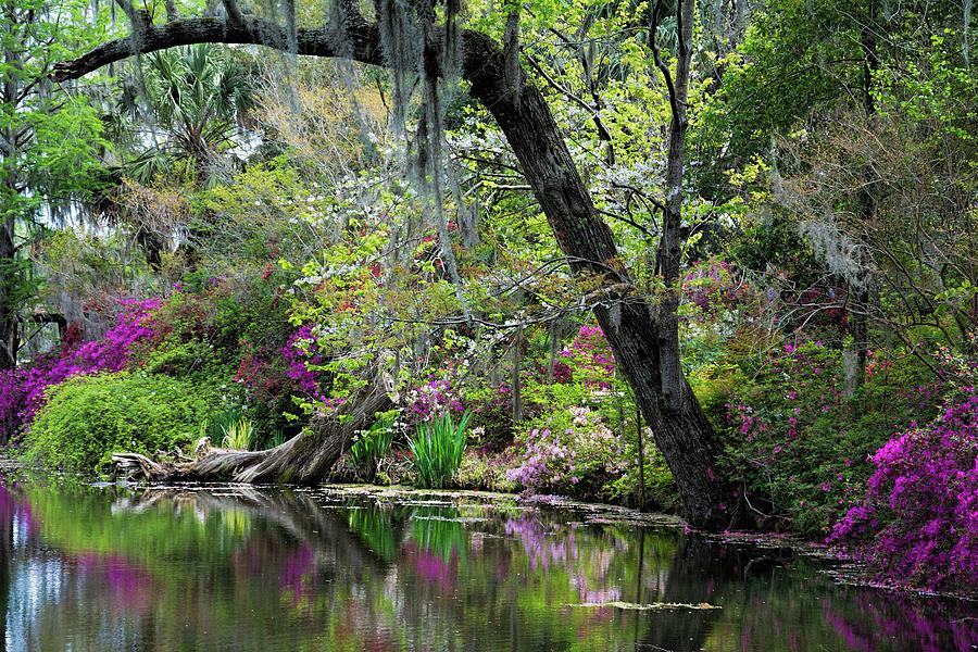 Magnolia Spring by Ed Waldrop