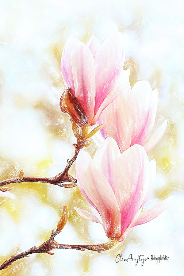 Magnolias are blooming again, it must be Spring by Chris Armytage