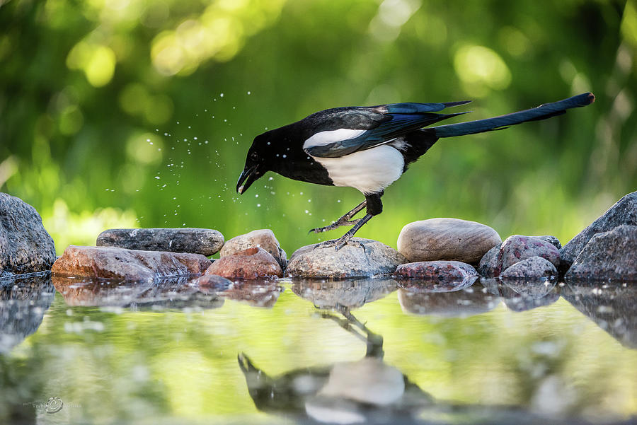Magpie In Profile Jumping On The Rocks At The Pond Photograph