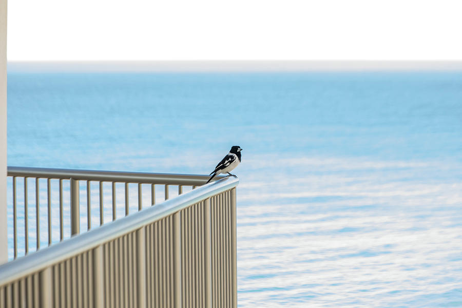 Magpie In Waiting by Uncle Arny