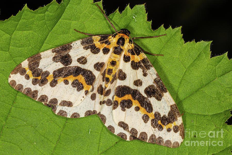 Magpie Moth by Brian Roscorla