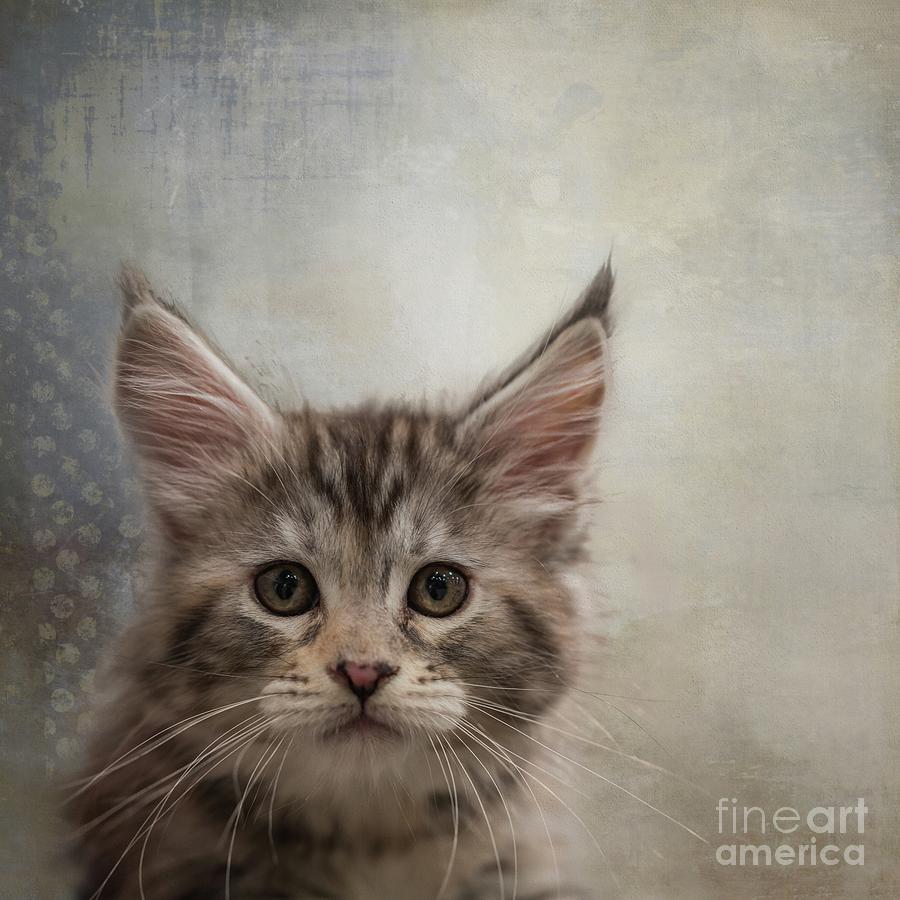 Maine Coon Kitten by Eva Lechner