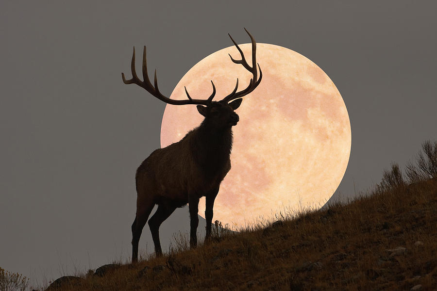 Majestic Bull Elk And Full Moon Rise Photograph by Mark Miller Photos