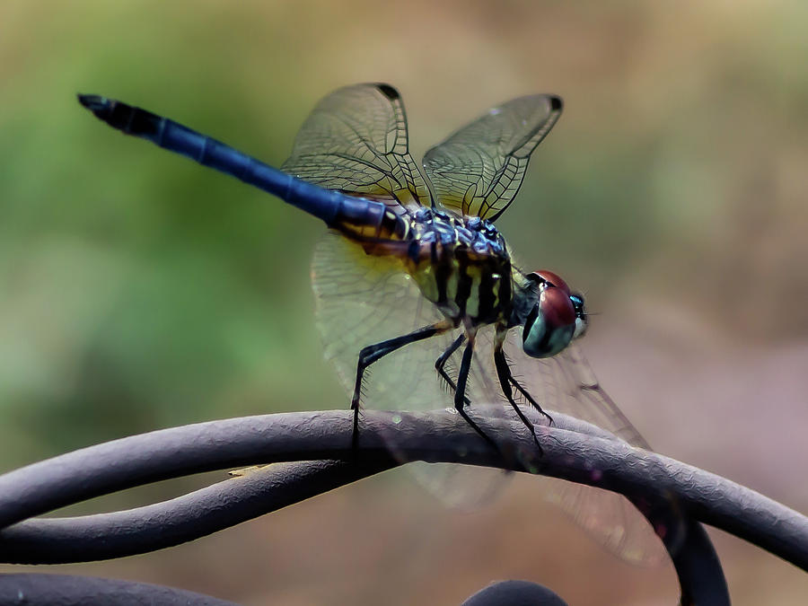 Majestic DragonFly by Ed Stines