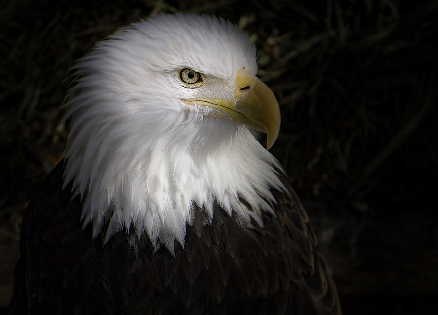 Majestic Eagle by Peter Wagner