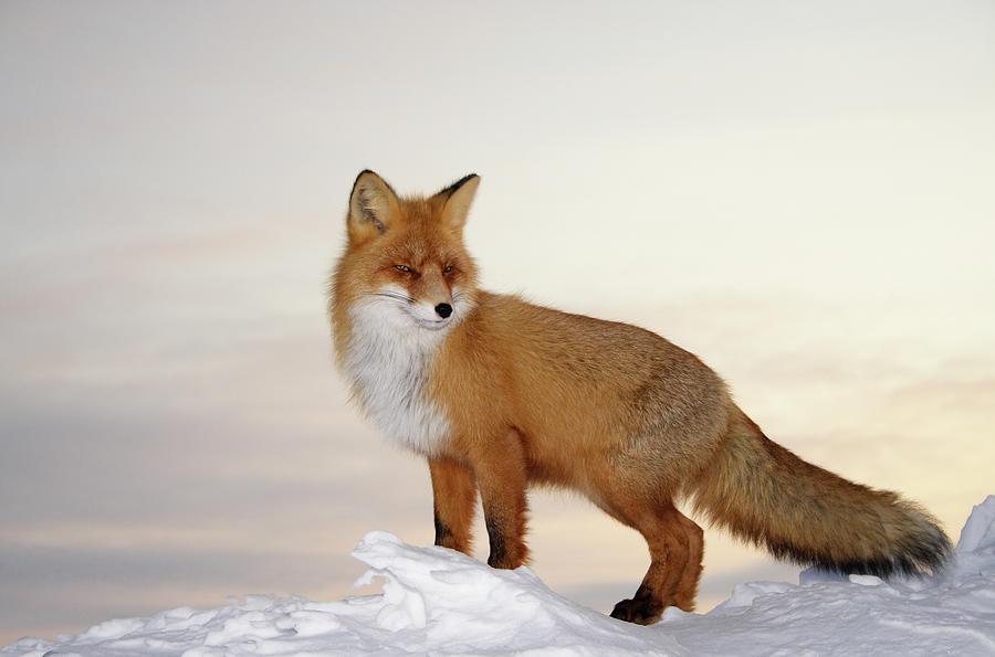 Majestic Fox Photograph by Dmitrynd