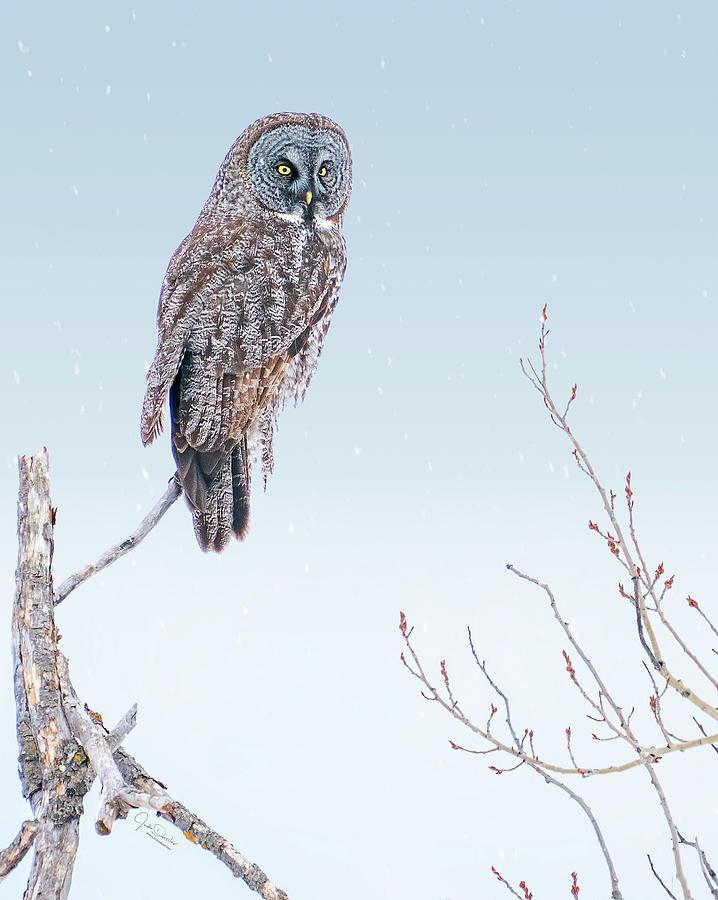Majestic Great Gray Owl by Judi Dressler