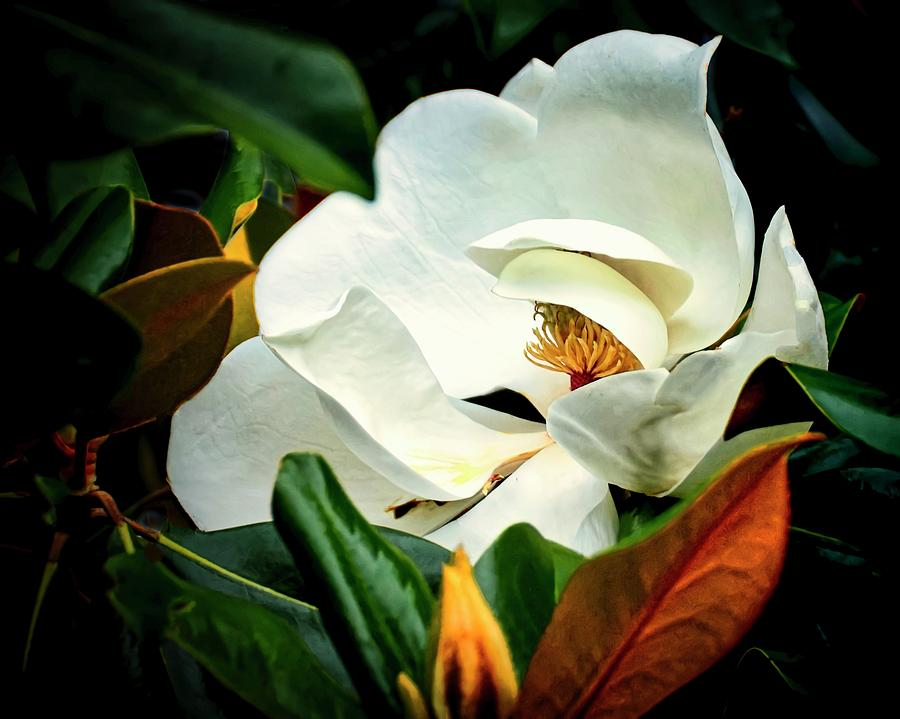 Majestic Magnolia Flower by Flying Z Photography by Zayne Diamond