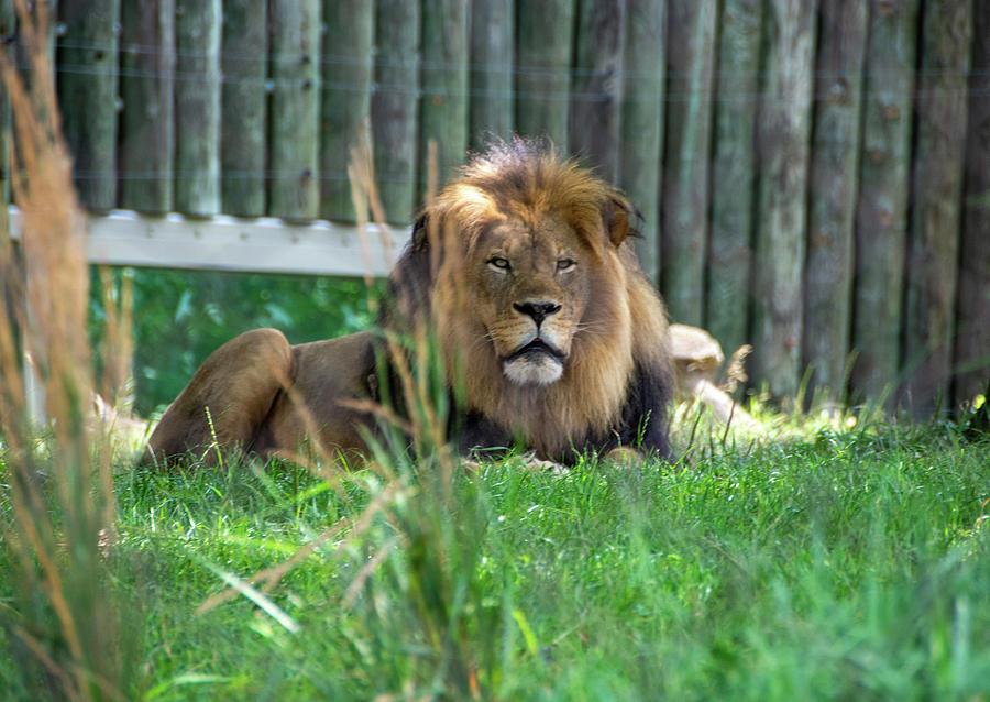 Majestic Male Lion by Jennifer Wick