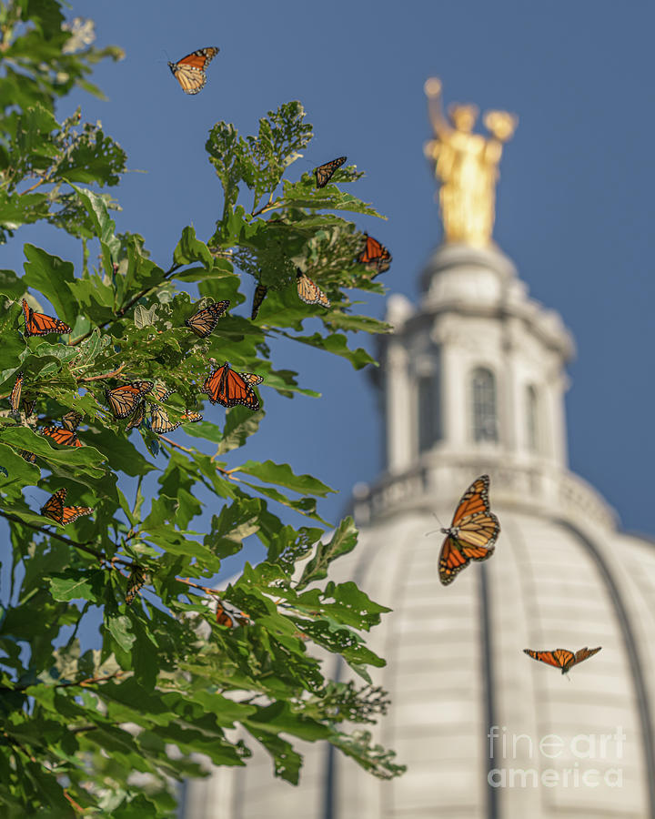 Monarchs Migrating Through Madison by Amfmgirl Photography