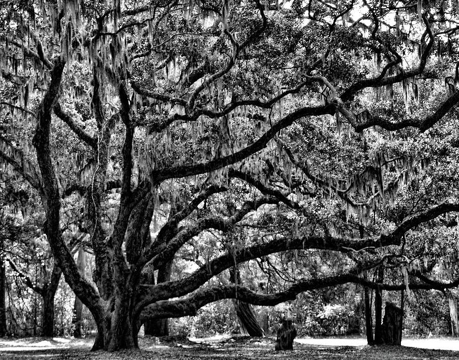 Majestic Oak by Glenn Grossman