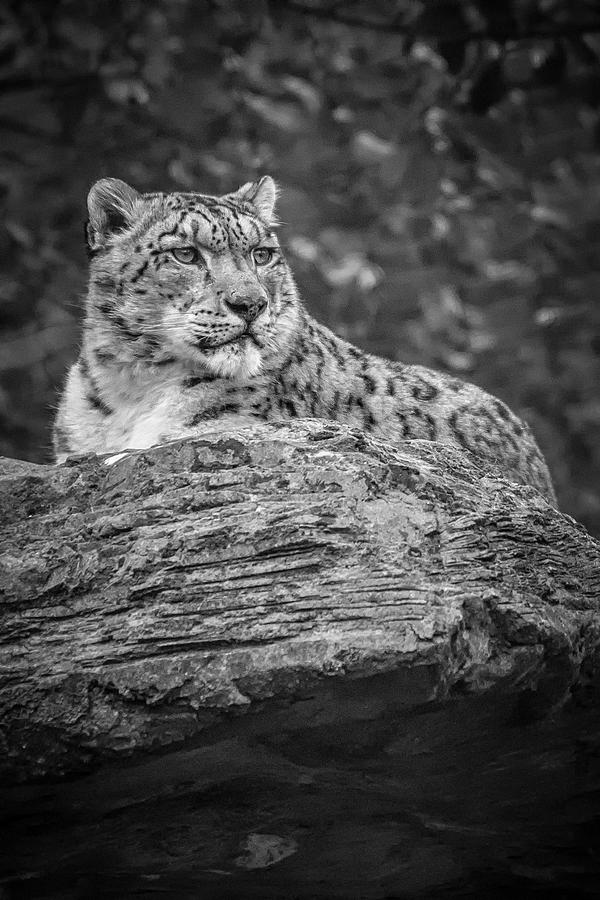 Majestic Snow Leopard - BW by Chris Boulton