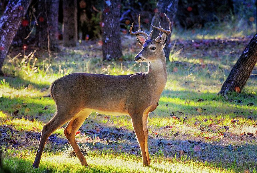 Majestic White Tail Buck in the Morning Light by Lynn Bauer