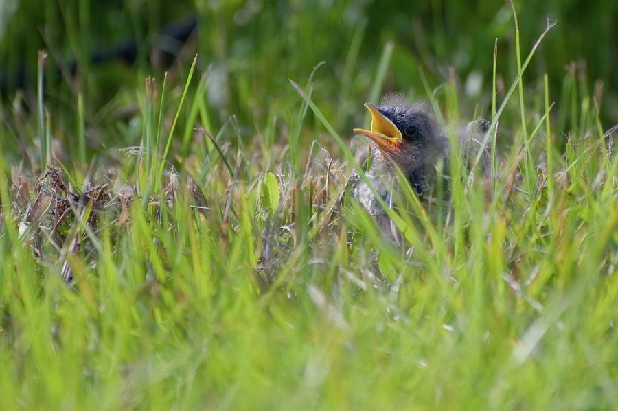 Making A Call to Mom Fledgling Mockingbird by T Lynn Dodsworth