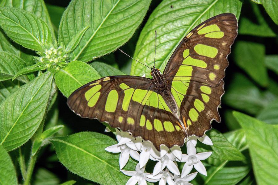 Malachite Beauty Butterfly 6402-040619 by Tam Ryan