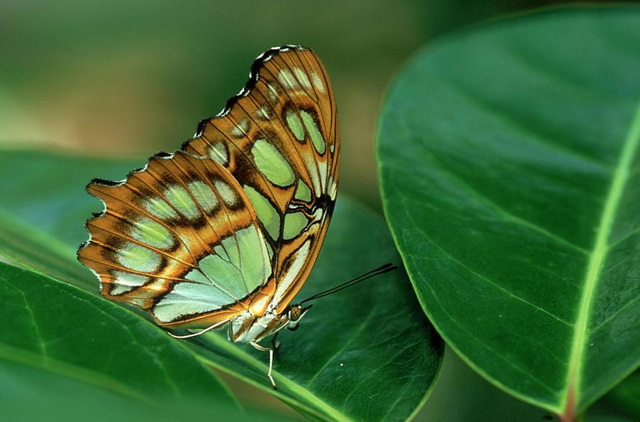 Malachite Butterfly, Siproeta Stelenes Photograph by Adam Jones