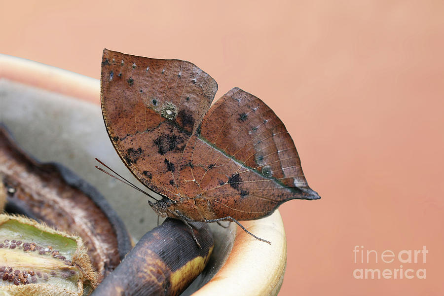 Malayan Leafwing Butterfly V2 by Judy Whitton