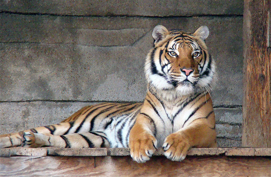 Malayan Tiger Photograph by Photography By P. Lubas