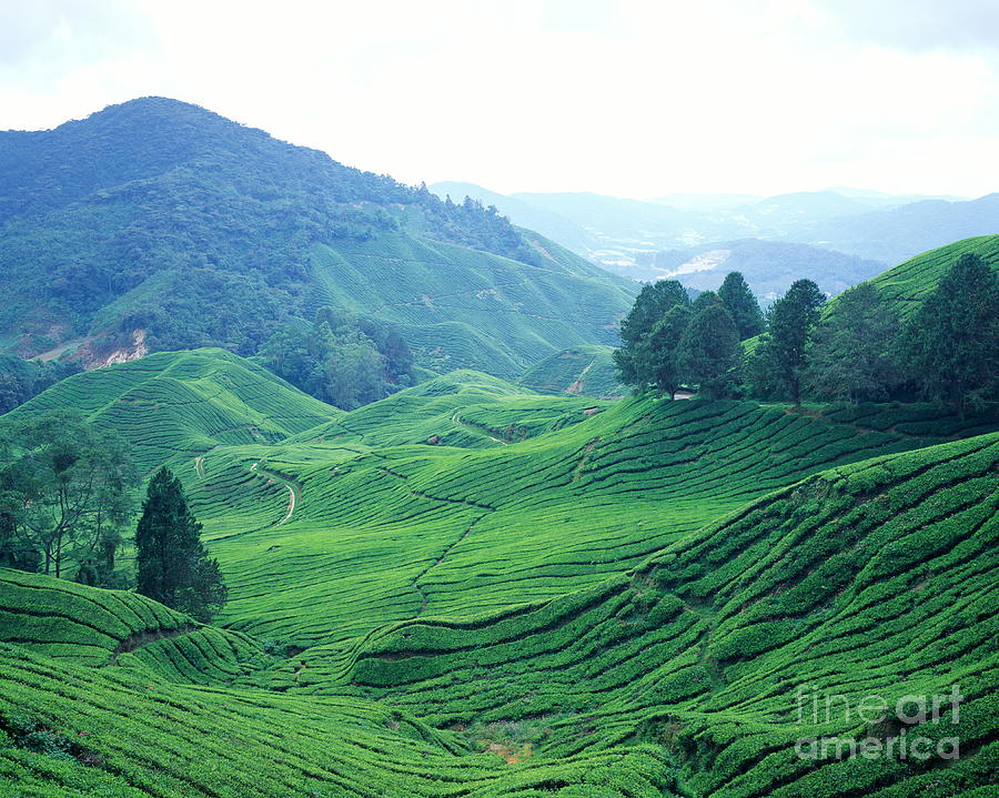 Malaysia, Cameron Highlands, Tea Photograph by Walter Bibikow