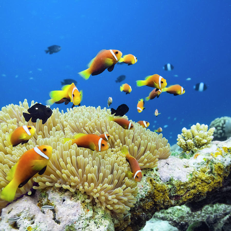 Maldives Anemonefish - Amphiprion Photograph by Cinoby